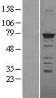 NBL1-11650 - hnRNP M3-M4 Lysate