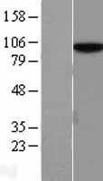 NBL1-11652 - hnRNP U Lysate