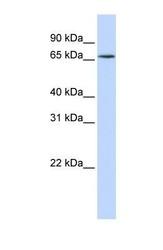 NBP1-57158 - hnRNP-R / HNRNPR