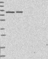 NBP1-89676 - hnRNP-R / HNRNPR