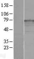 NBL1-12130 - katanin-p80 Lysate