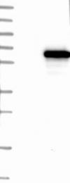 NBP1-90612 - KLHDC5