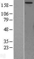 NBL1-10829 - mTOR Lysate