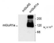 NB300-123 - mGluR1a / GRM1a