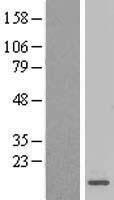 NBL1-13251 - mitochondrial ribosomal protein L27 Lysate