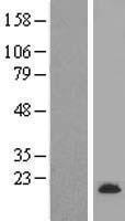 NBL1-13255 - mitochondrial ribosomal protein L30 Lysate