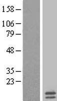 NBL1-13260 - mitochondrial ribosomal protein L35 Lysate
