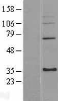 NBL1-13265 - mitochondrial ribosomal protein L4 Lysate