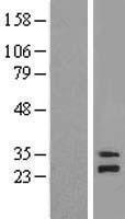 NBL1-13266 - mitochondrial ribosomal protein L4 Lysate