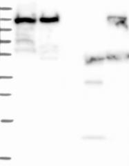 NBP1-92136 - MPHOSPH8