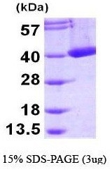 NBP1-44383 - Mu-crystallin homolog