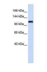 NBP1-59148 - Nidogen-2