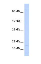 NBP1-59210 - Ninjurin-1