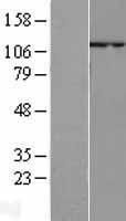 NBL1-15192 - p107 Lysate