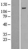 NBL1-15193 - p130 Lysate