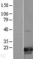 NBL1-09056 - p19 INK4d Lysate