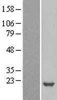 NBL1-09057 - p19 INK4d Lysate