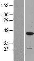 NBL1-12873 - MAP kinase p38  Lysate