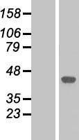 NBL1-12874 - MAP kinase p38  Lysate