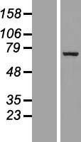 NBL1-10987 - p66 beta Lysate