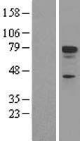 NBL1-17209 - p73 Lysate
