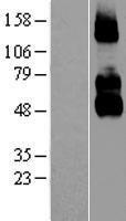 NBL1-13635 - p75 NGF Receptor Lysate