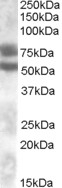 NBP1-00136 - DACH1