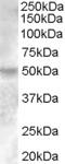 NBP1-00182 - Estrogen-related receptor gamma
