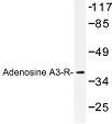 NBP1-00705 - Adenosine receptor A3