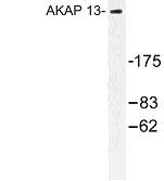 NBP1-00706 - AKAP13