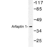 NBP1-00718 - Arfaptin-1