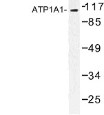 NBP1-00720 - ATP1A1
