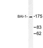 NBP1-00723 - BAI1