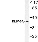 NBP1-00727 - BMP8A