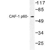 NBP1-00736 - CAF-1 subunit B