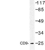 NBP1-00748 - CD9
