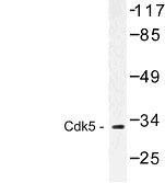 NBP1-00749 - CDK5