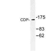NBP1-00750 - CUTL1 / CDP