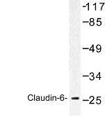 NBP1-00754 - Claudin-6 / CLDN6