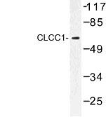 NBP1-00757 - CLCC1