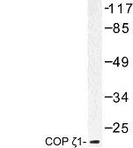 NBP1-00762 - Coatomer subunit zeta-1