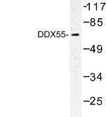 NBP1-00780 - DDX55