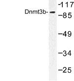 NBP1-00783 - DNMT3B