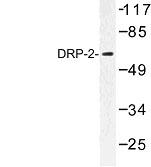 NBP1-00785 - DRP2