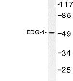 NBP1-00786 - EDG1 / S1P1