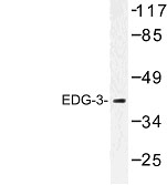 NBP1-00789 - EDG3 / S1P3