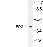 NBP1-00791 - EDG4 / LPAR2