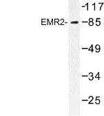 NBP1-00803 - CD312 / EMR2