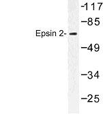 NBP1-00812 - Epsin-2