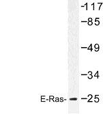 NBP1-00813 - ERAS / HRAS2